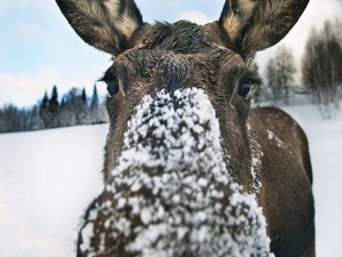 moose4