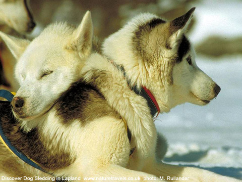 Husky Breeds For Dog Sledding What S The Difference Between