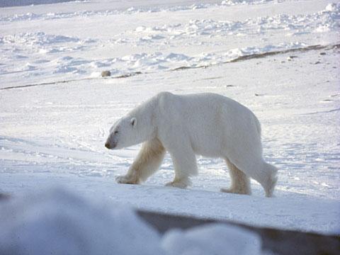 polarbear2