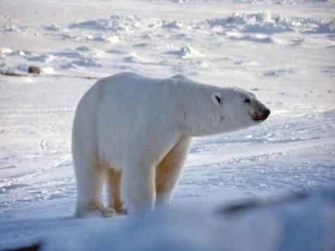 polarbear3