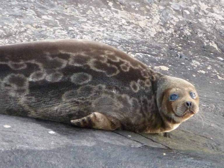 ringed-seal-on-rock