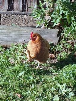 A hen!